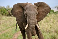elephant ears.