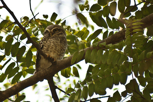 Spotted Owlet(Athene brama) at Lalbagh, Bangalore