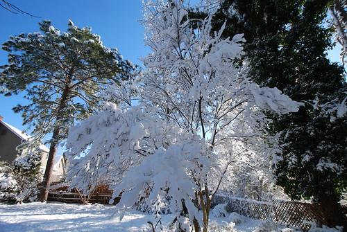Snowmaple