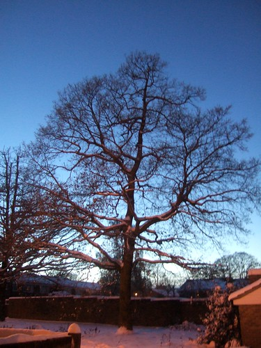 Snow Covered Tree At Dusk