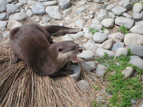 Asian small clawed otter at Wellington Zoo