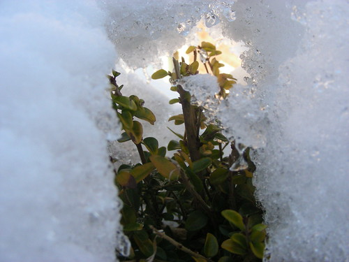 snow cave in the hedge