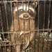 Raccoon in filthy, tiny cage, Animal Advocates, Mary Cummins