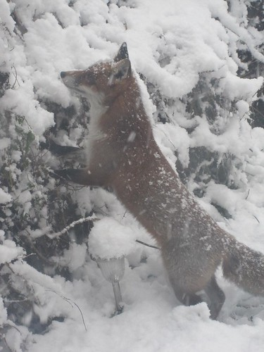 snowy_fox_dec10