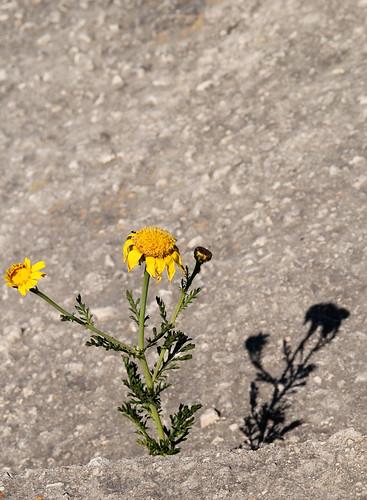 Flower-shadow-Mosta