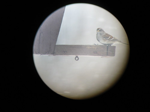 Tree Sparrow - through the spotting Scope