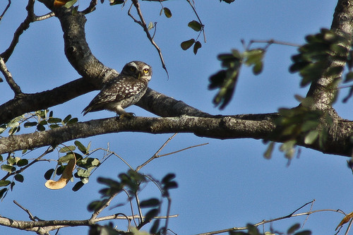 """Spotted """"Spotted Owlet Baby :) """""""