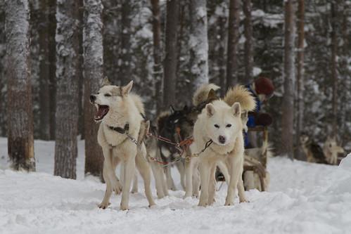 Huskies - II