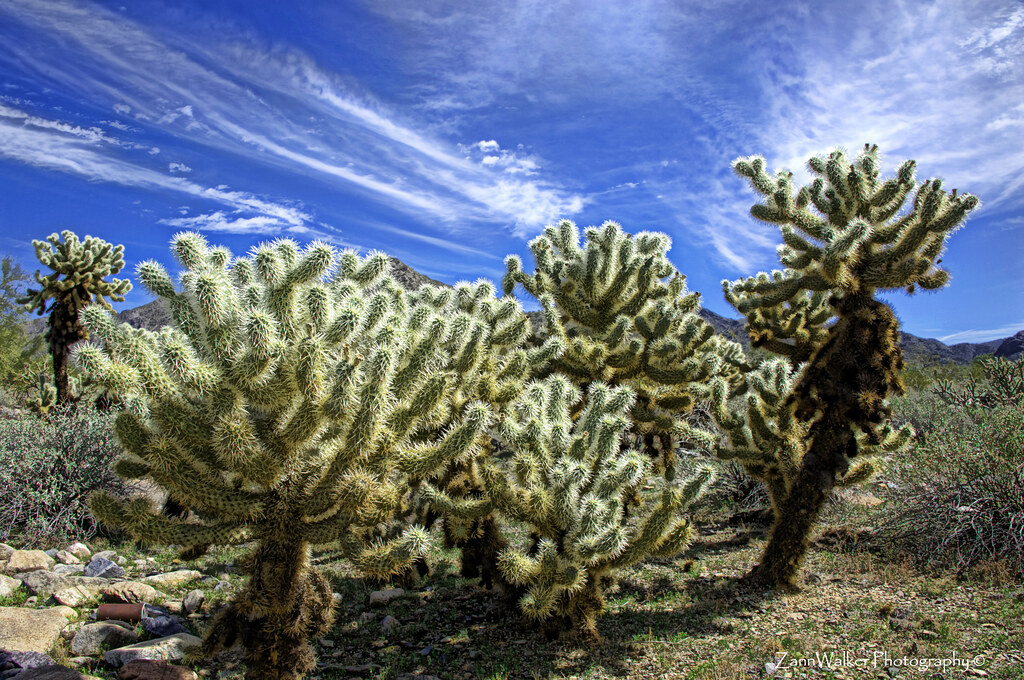Cholla at Midday