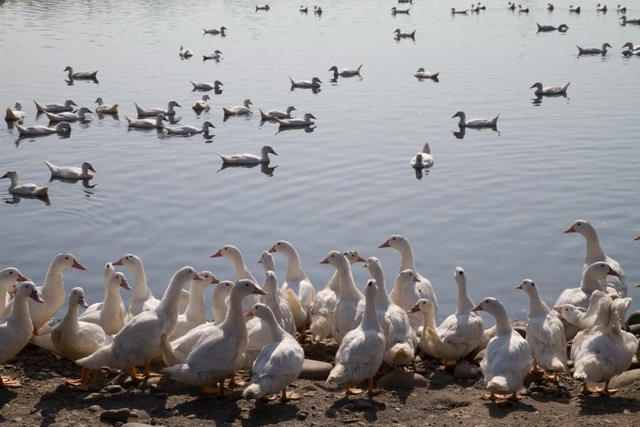20110205_12_Beautiful Duckling_02