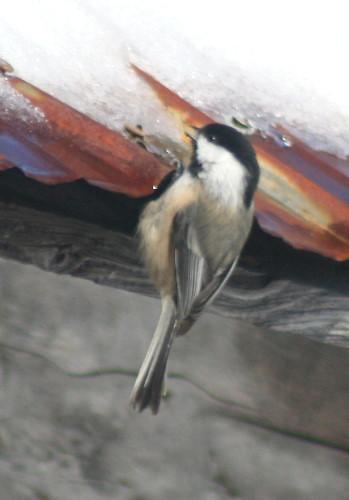 Chickadee drinking snowmelt