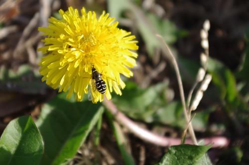 03.03.2011 Dandelions