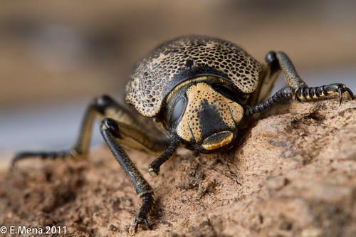 Escarabajo de Madera (Zhoperus jansoni), Cerro Bebedero. Escazú, Costa Rica
