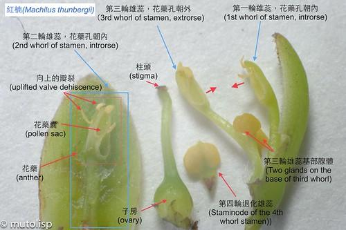 紅楠花的構造解剖