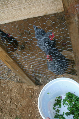 feeding sprouts to chickens