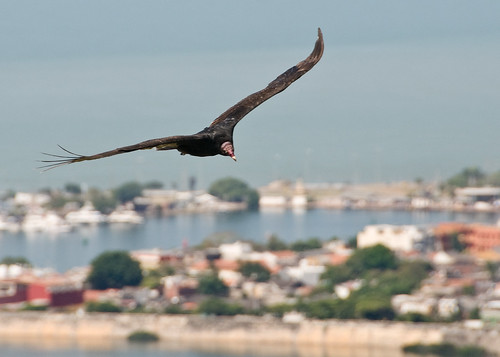 Vulture over Cartagena