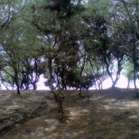 Cemara Udang di Pantai Kwaru