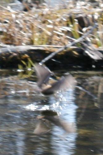brown bat, prob. Myotis sp.