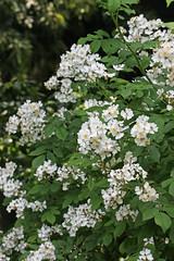 泉の森(ふれあいの森)のノイバラ(Rose, Izuminomori park, Yamato, Kanagawa, Japan)