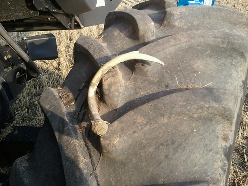 Antler in tire