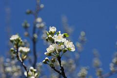 小机城址市民の森の桜