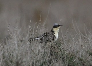 2011_03_30 CLV - Great Spotted Cuckoo (Clamator glandarius) by Mike at Sea