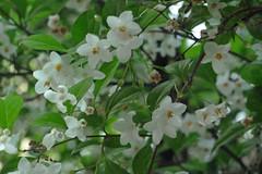 久田緑地のエゴノキ(Flower, Kuden Ryokuchi, Kanagawa, Japan)