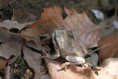 自然環境保全センターのアカガエル(Frog, Nature Preservation Center, Kanagawa, Japan)