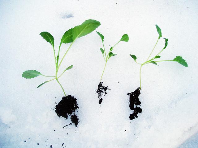 kale seedlings on snow