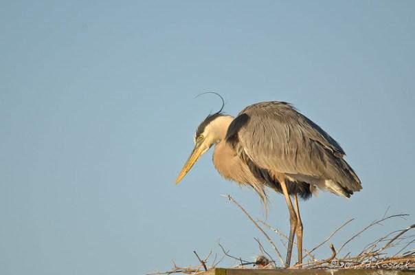 Great Blue Heron in nest