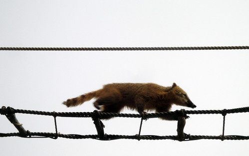 Coati, the acrobat