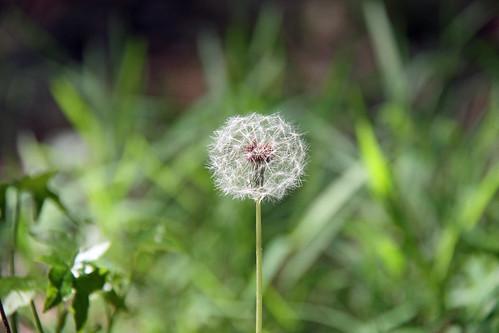 dandelion by aimeesblog
