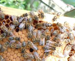 Queen bee 1