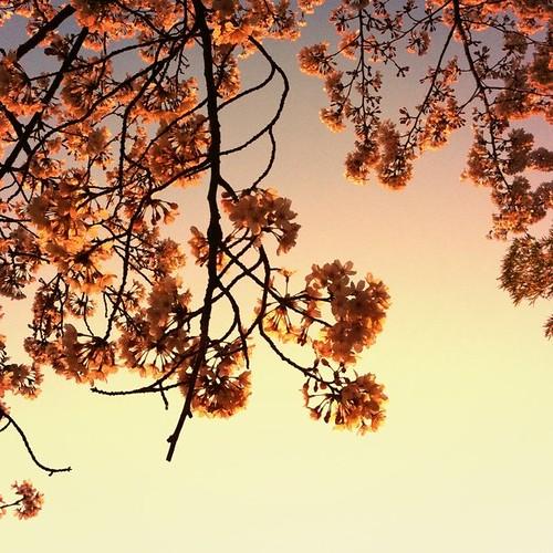 夕陽に咲く。  今日も一日、お疲れ様でした。 #sakura #sunset