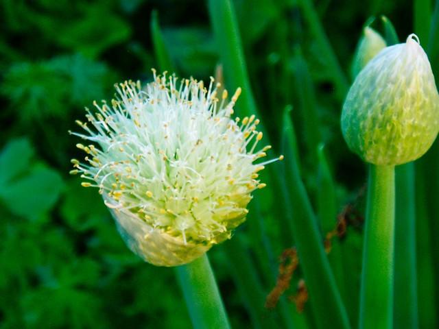 Open Lotus Garden Onion Flower