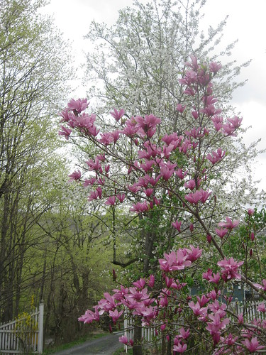 Magnolia & Cherry by Driveway
