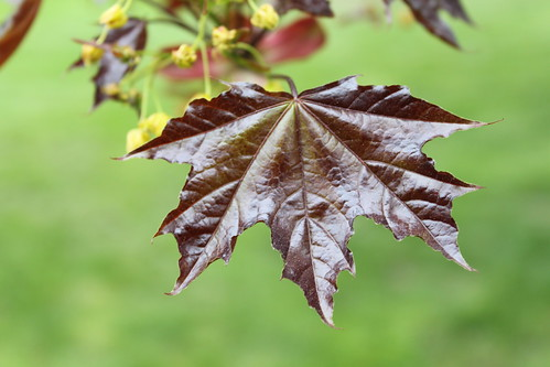New York Botanical Gardens - Norway maple (Acer platanoides) Leaf