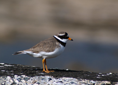 Ringed Plover by _pauls