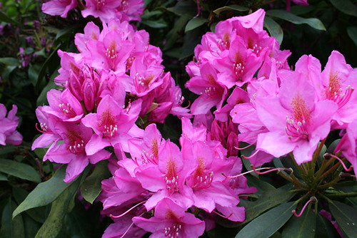 Rhododendron 02