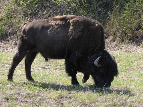 Bison spotted in Yellowknife
