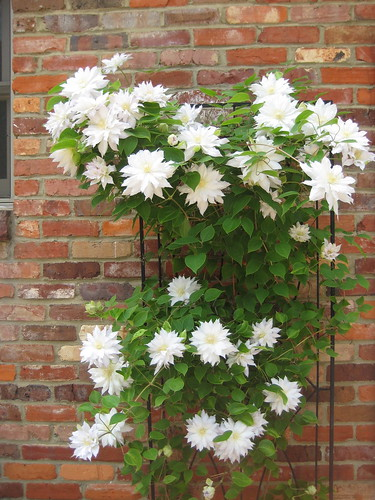 Clematis explosion