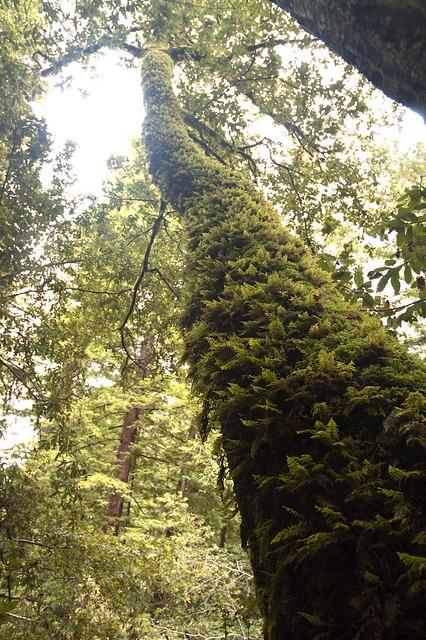 Big Basin Mossy Tree