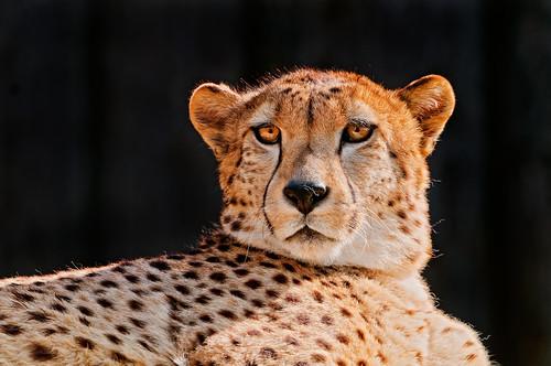 Cheetah on black by Tambako the Jaguar