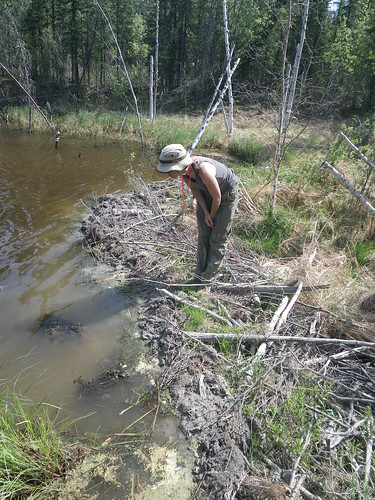 Laura investigating the beaver dam that dried up one stream our gps claimed we should have been able to find.