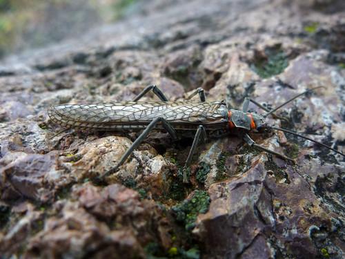 Deschutes River Salmonfly