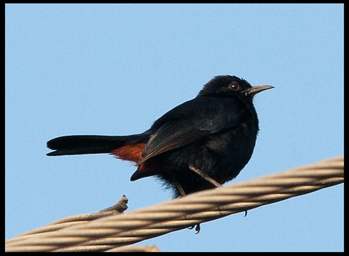 Indian Robin - Male by Sushil