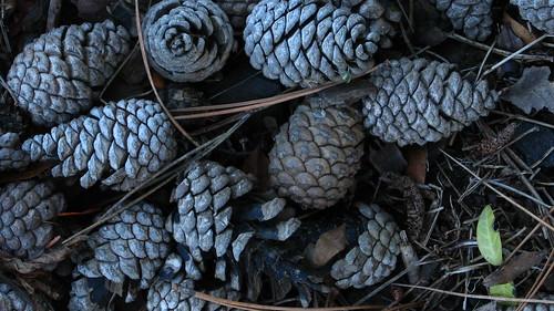pine cones nov 2007