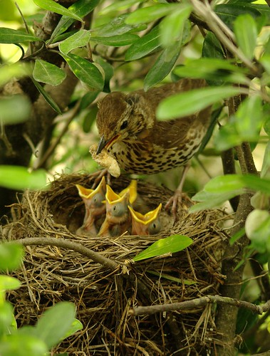 Hungry Nestling Chicks - The Song Thrush by possumgirl2, on Flickr