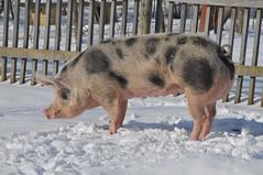 Piétrain Schwein im Gaia Park Kerkrade im Februar 2010