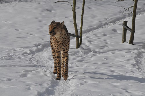 Gepard im Gaia Park Kerkrade im Februar 2010